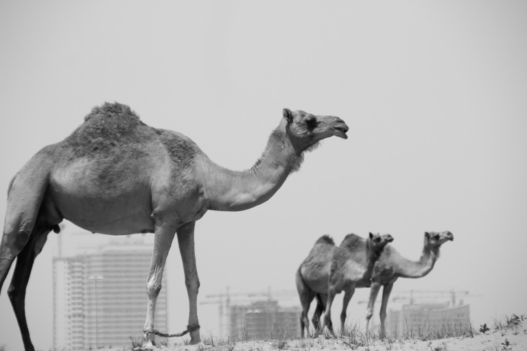 camels bnw