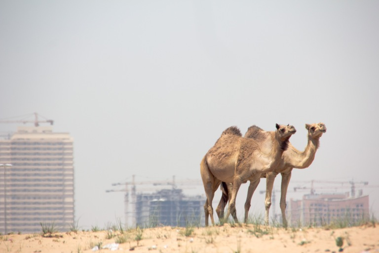two camels